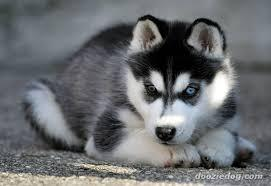 FREE Quality siberians huskys Puppies:contact us at (919) 391-0827