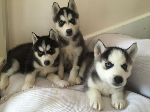 FREE Quality siberians huskys Puppies:contact us at (832) 802-2396