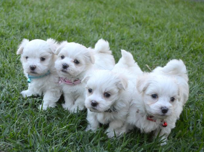 Top Quality Malteses Puppies for Adoption.