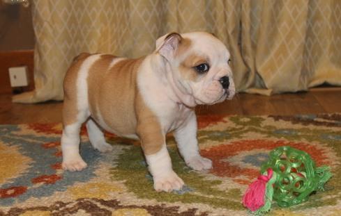 Gorgeous E.n.g.li.s.h B.ul.l.Dog P..u.p.p.i.e.s(303) 632-9083