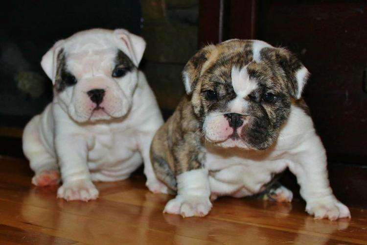 ENGLISH BULLDOG PUPPIES FOR LOVING HOMES=518-720-9424