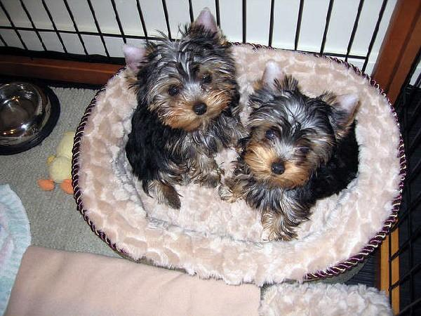 Gorgeous male and female  Y.O.R.K.I.E PUPPYIES (617) 313-3357