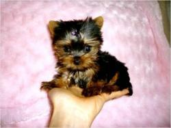 Pretty Female and Male Tea Cup Y.O.R.K.I.E puppies (216) 551-9966