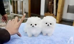 FREE FREE Male and Female Pomeranianss Puppies Available (972) 483-5620