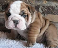 *Top Quality BULLLDOG ENGGLISH puppies