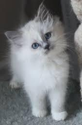 Stunning Persian Kittens For Sale