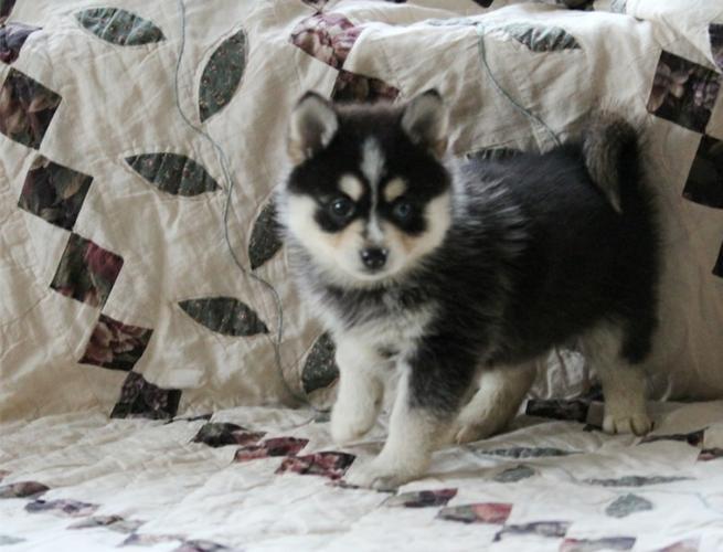 FREE FREE CUTE P.O.M.S.K.Y. Puppies:??? (702) 500-4291