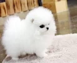 Lovely Tea-cup Pure Breed P.o.me.r.a.n.i.a.n pu.ppies for a.do.p.tion te.x.t 417-295-0219