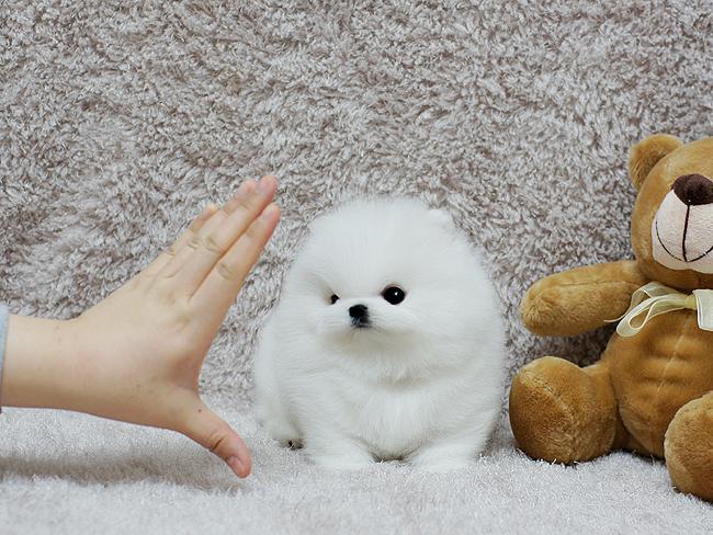Beautiful.Mini P.o.m.e.r.a.n.i.a.n puppies!!!sms (252) 678-5431