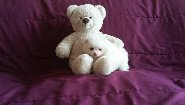 Sweet .Mini P.o.m.e.r.a.n.i.a.n puppies!!!sms (484) 679-5220