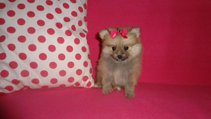 !!Male and Female Pomeranianss Puppies Available (339) 337-9221