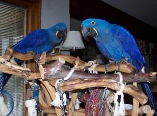 Hand-Reared-Silly-Tame Sweet/Hyacinth Macaw Parrots