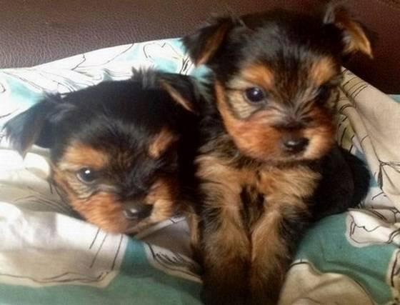 Full Breed Teacup Yorkie Girls And Boys For Adoption