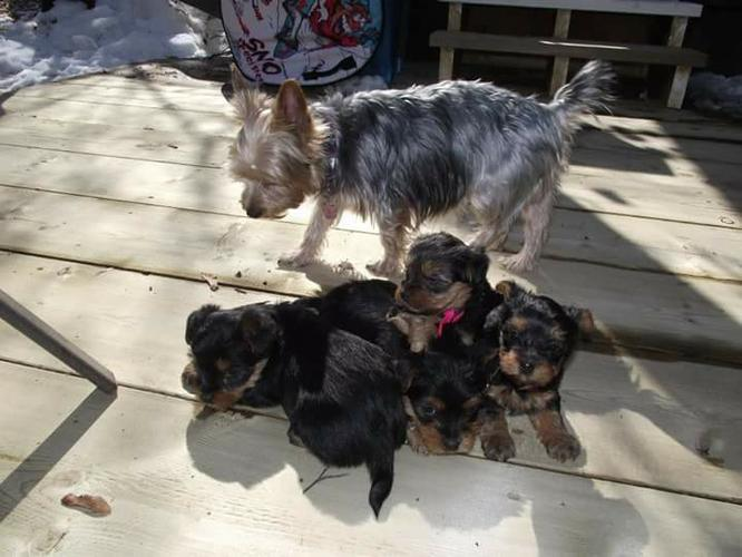 Yorkie poo puppies available