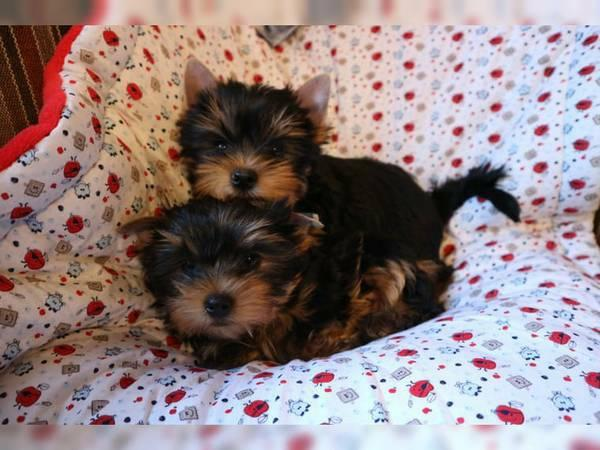 . Male & Female Potty Trained Yorkie puppies .