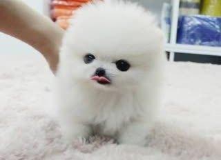Sweet .Mini P.o.m.e.r.a.n.i.a.n puppies!!!sms (240) 317-4422