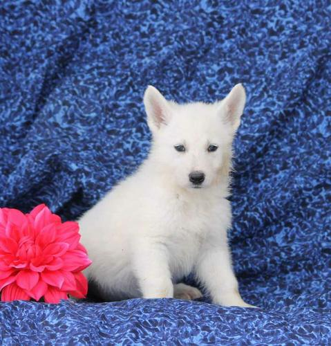 White German Shepherd Puppies