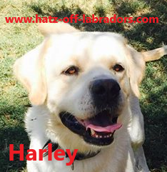 3 AKC Labradors Available For Stud Service