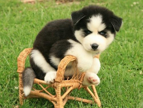 Quality siberians huskys Puppies:contact us at(347) 696-0307