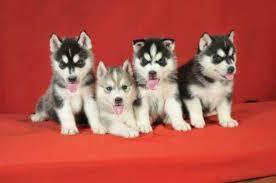 Beautiful Free S.i.b.e.r.i.a.n h.u.s.k.y puppie.s 402 277-8303