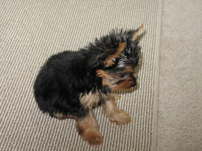 Top quality Male and Female yorkie puppies(100% Purebred).