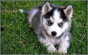 Quality siberians huskys Puppies:???contact us at (254) 549-7538