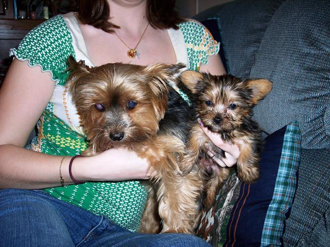 Quality Adorable Y.o.r.k.i.e puppies(740) 343-9170