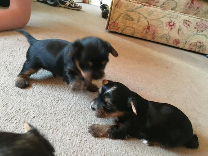 Gorgeous Quality Short Y.o.r.k.i.e puppies looking for good homes