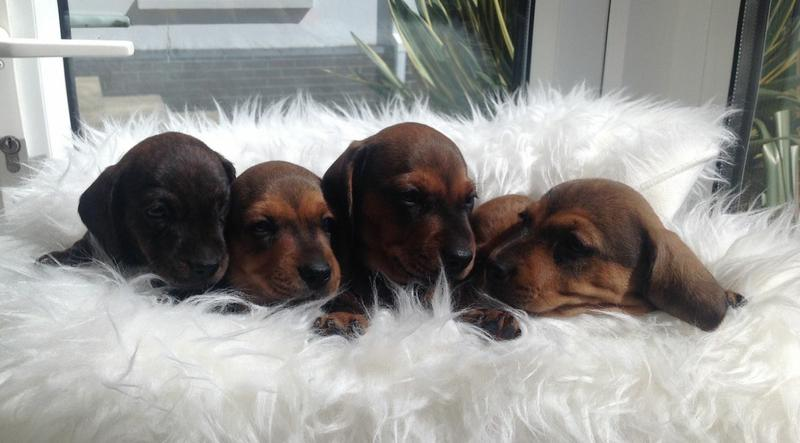 Adorable mini dachshund puppies for sale.