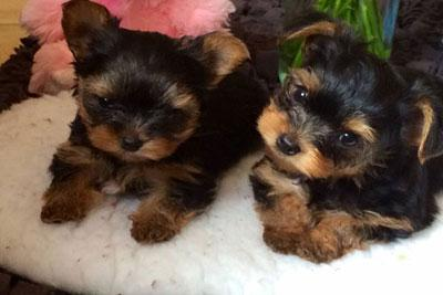 ???Pretty Female and Male Tea Cup Y.O.R.K.I.E puppies??? (216) 551-9966