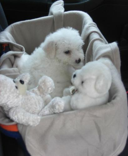 4 girls 3 males bichon frise and maltese