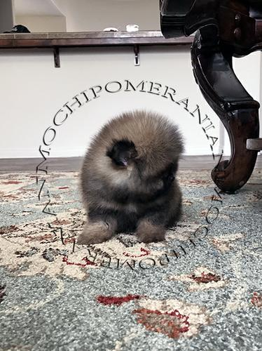 AKC Orange Male Pomeranian