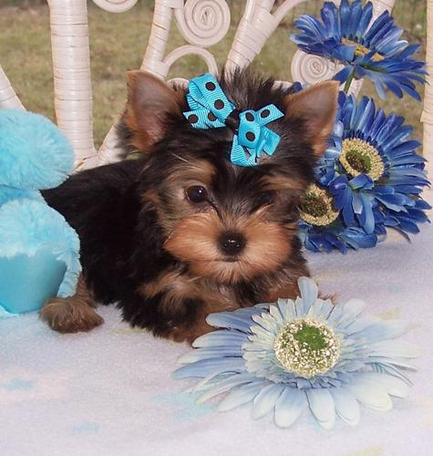 ?Y.o.R.k.i.e P.upp.i.e.s For F.r.e.e, ((678) 631-9571/Ready Now 12 Weeks Old #