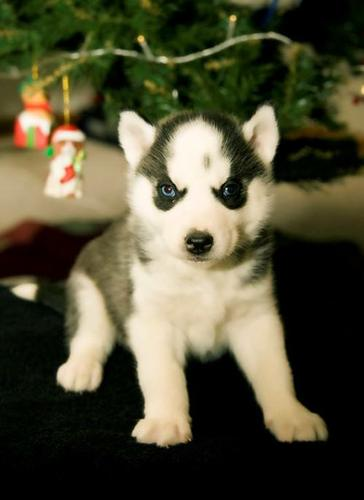My male and female  husky puppies