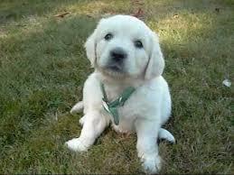 Top Quality Golde.n Retrieve.r Pups . (754) 333-1015