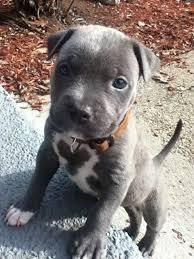 FREE FREE MALE AND FEMALE PIT BULL PUPPIES SMS (630) 509-7004
