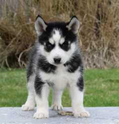 siberians huskys Puppies:contact us at (440) 490-6115