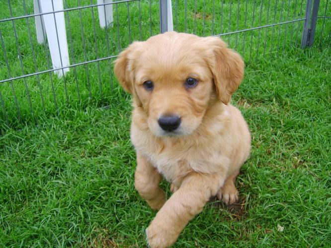 Talented  Quality Golde.n Retrieve.r Pups . (434) 248-0822