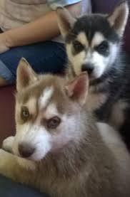 .*Urgent!Precious Huskies Pups(562) 250-4224