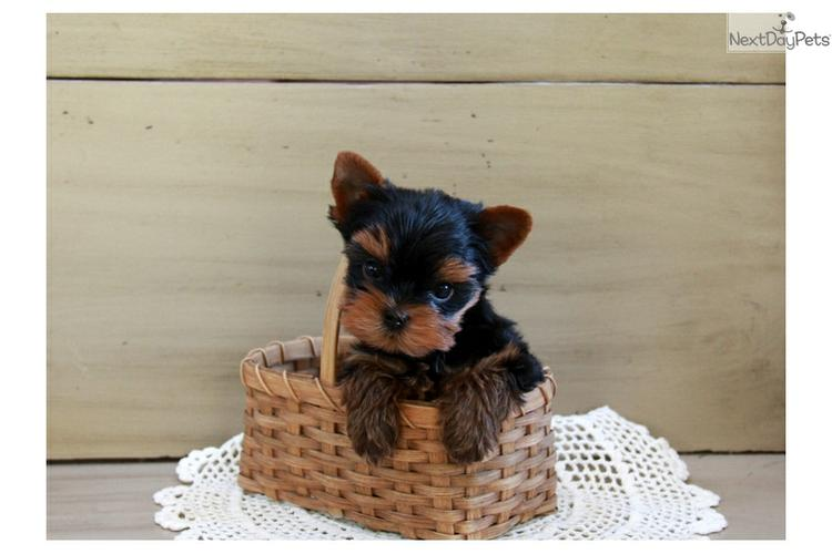 TEXTME NOW ON (310) 596-2260 Sweet Looking Teacup Yorkies Puppies ready