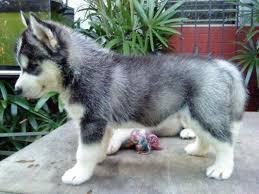 Urgent!Precious Huskies Pups(562) 250-4224
