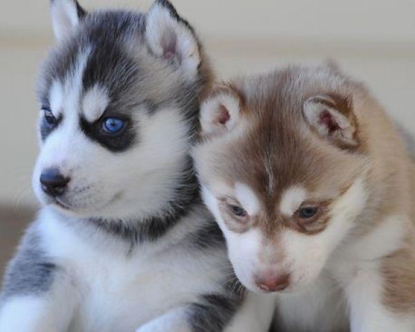 Charming Blue Eyed siberians huskys Puppies!!!(240) 389-9166