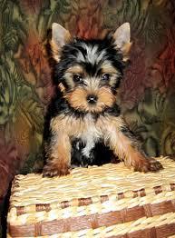 CUTIE T.E.A.C.U.P Y.O.R.K.I.E Puppies: contact us at(302)400-4672