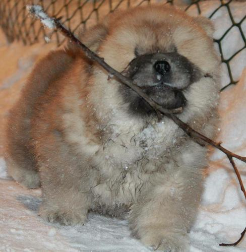 !!Male and Female Chow Chow Puppies Available 812-573-0484