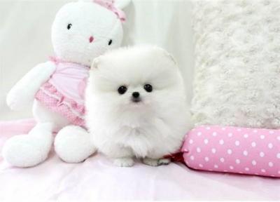 ???Beautiful and Cute T.e.a.c.u.p P.o.m.e.r.a.n.i.a.n.???S. m.s.(716) 795-6762???