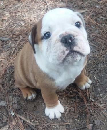 ???Home raised Female and Male e.n.g.l.i.s.h b.u.l.l.d.o.g s for new homes???(651) 337-7813