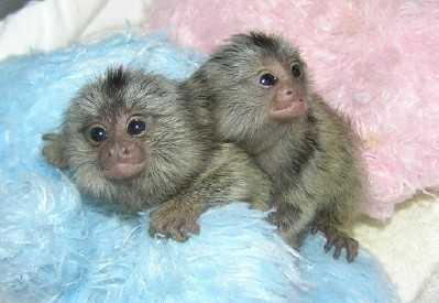 Well Trained Marmosets Monkeyss, Call (727) 914-5780 for info's