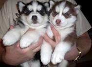 Home Trained Male and Female Pups