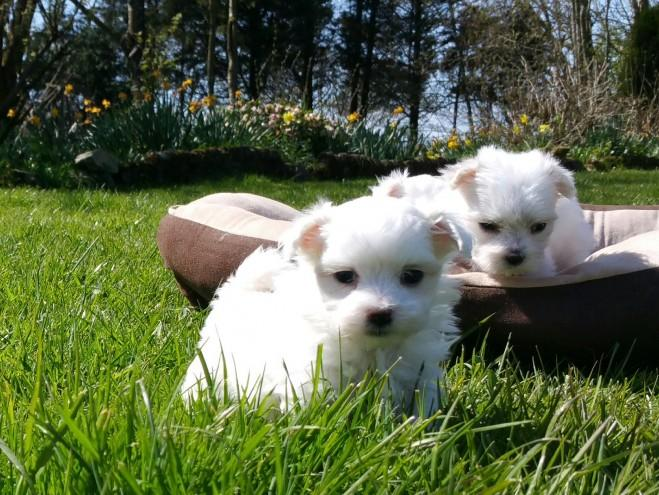 #Top Quality M.a.l.t.e.s.e puppies#