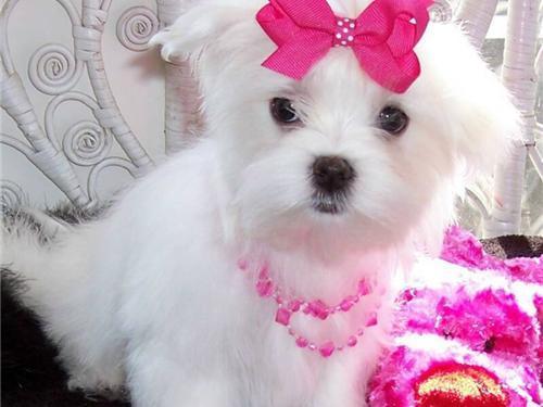@Priceless White M.a.l.t.e.s.e Puppy For Adoption